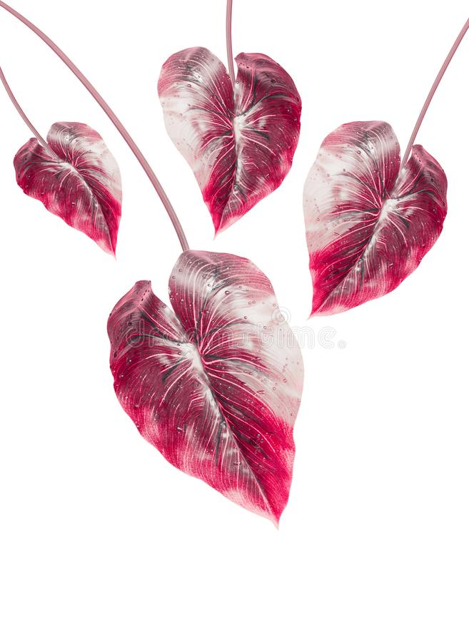 Tropical red leaf, isolated on white background. Hanging exotic leaf. Tropical red leaf, isolated on white background. Hanging exotic leaves stock images