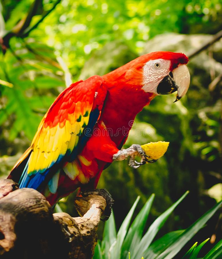 Tropical Red Parrots royalty free stock image