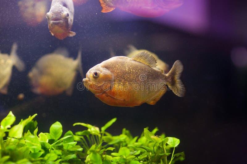 Tropical red piranha Serrasalmus nattereri in natural environment.  stock image