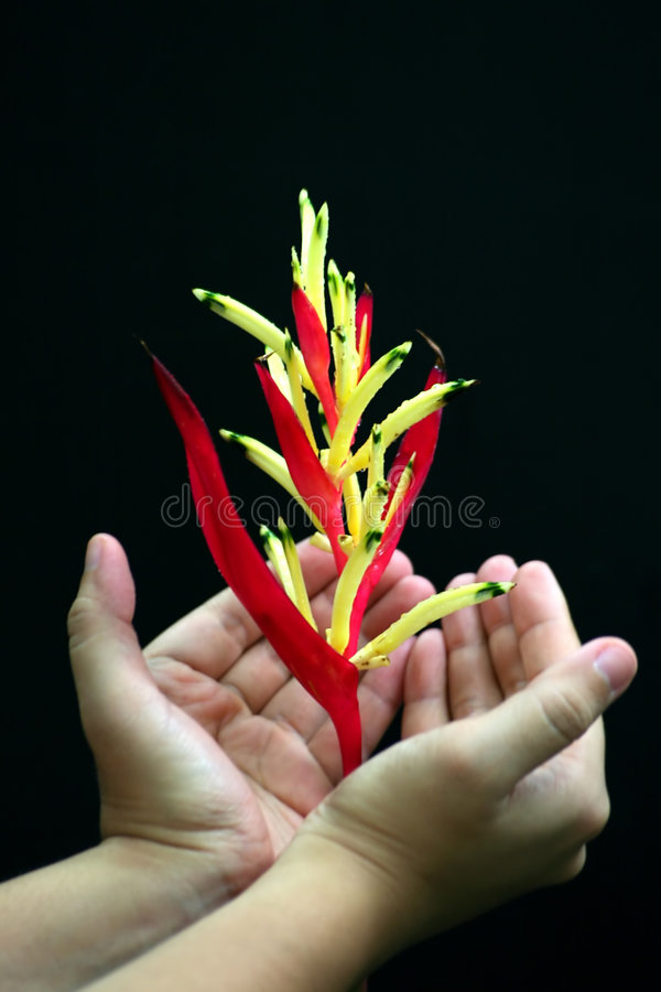 Tropical Red And Yellow Flower In Hand stock photos