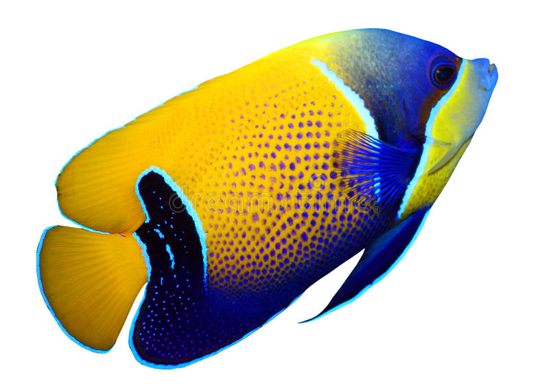 Tropical reef fish. Majestic Angelfish (Pomacanthus navarchus) - isolated on white background