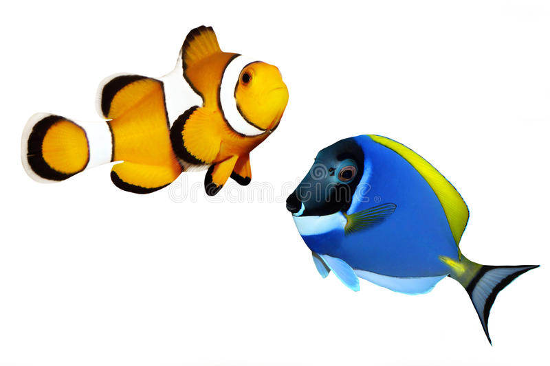 Tropical reef fish. Clownfish and Surgeonfish - isolated on white background