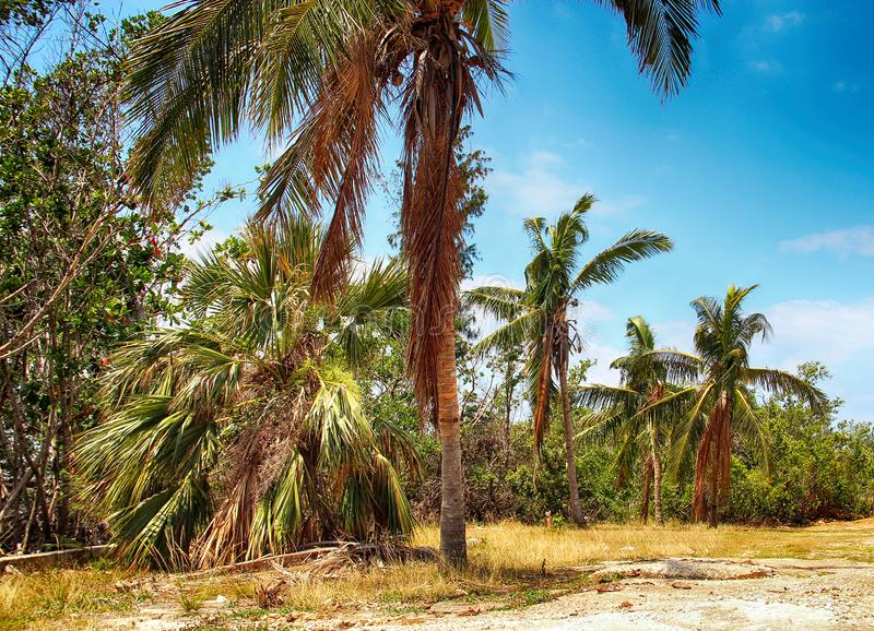 Tropical resort with big palms. It is a tropical resort with big palms. There is a blue sky with white clouds. It`s in the Cuba stock images