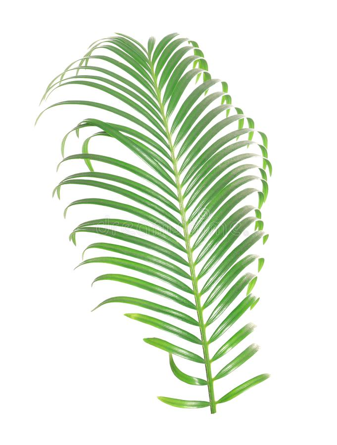 Tropical sago palm tree leaf isolated. On white royalty free stock photo
