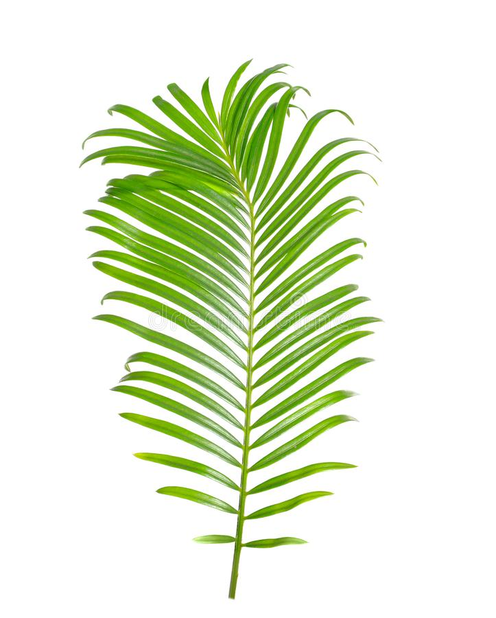 Tropical sago palm tree leaf isolated. On white royalty free stock images