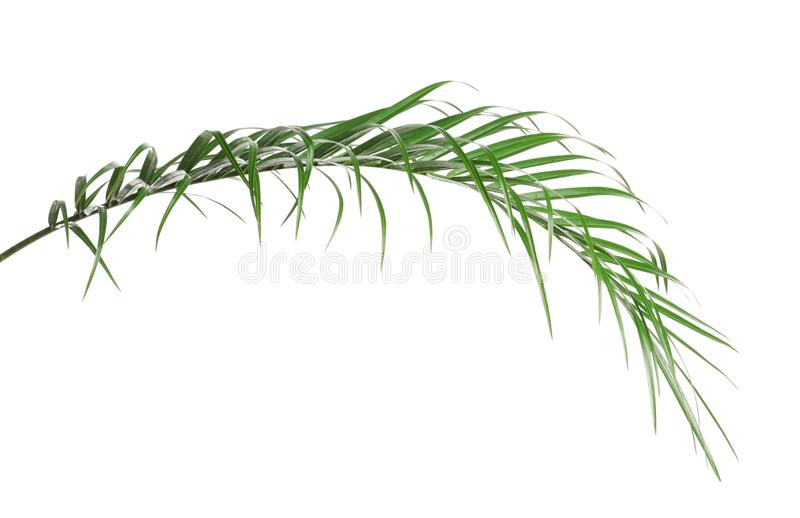 Tropical sago palm tree leaves isolated. On white royalty free stock images