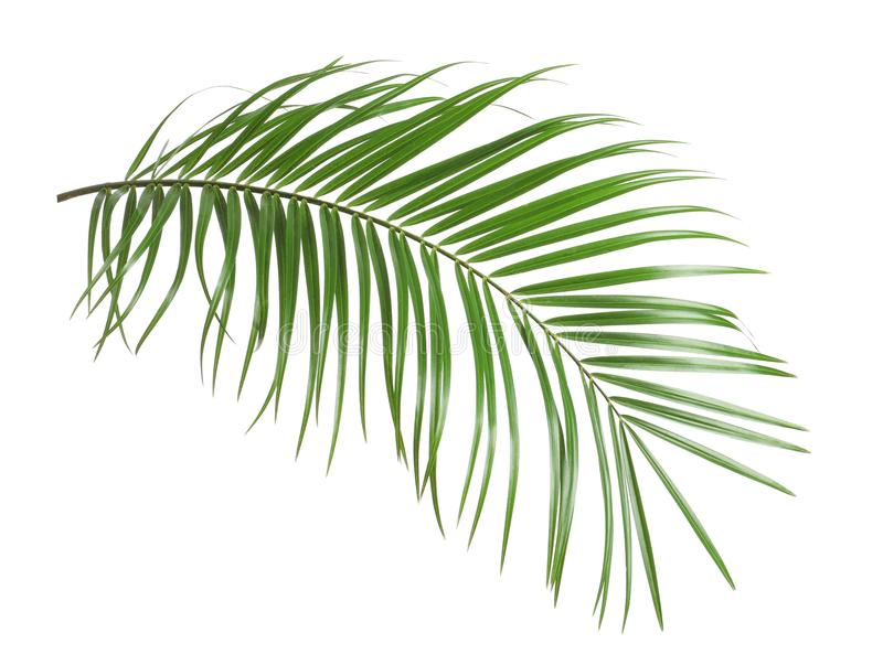 Tropical sago palm tree leaves isolated. On white stock photography