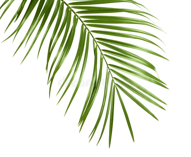 Tropical sago palm tree leaves isolated. On white stock images