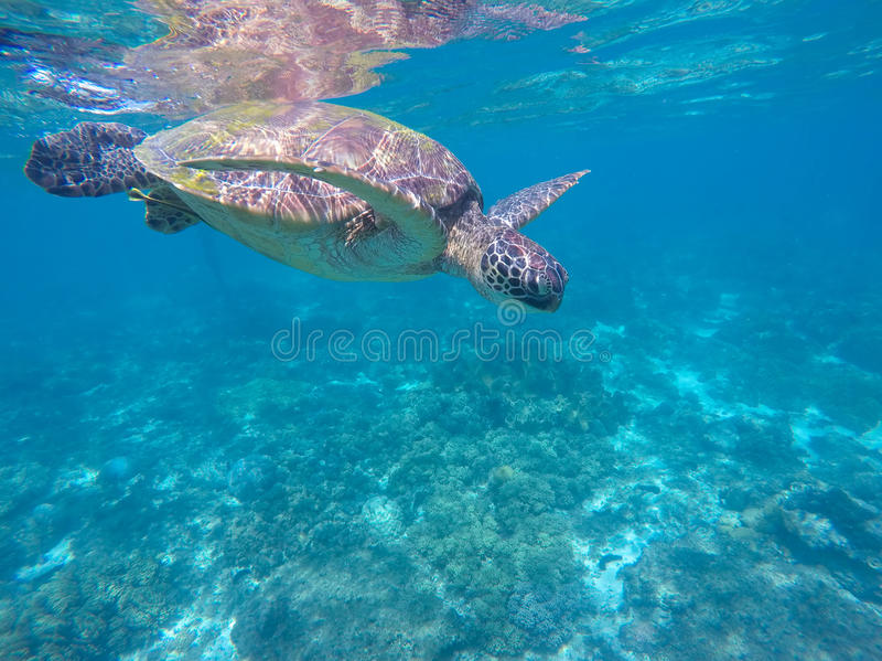 Tropical sea animal. Underwater photo of big sea turtle. Green turtle swims in aqua blue water. Tropical sea animal. Underwater photo of big sea turtle. Lovely royalty free stock images