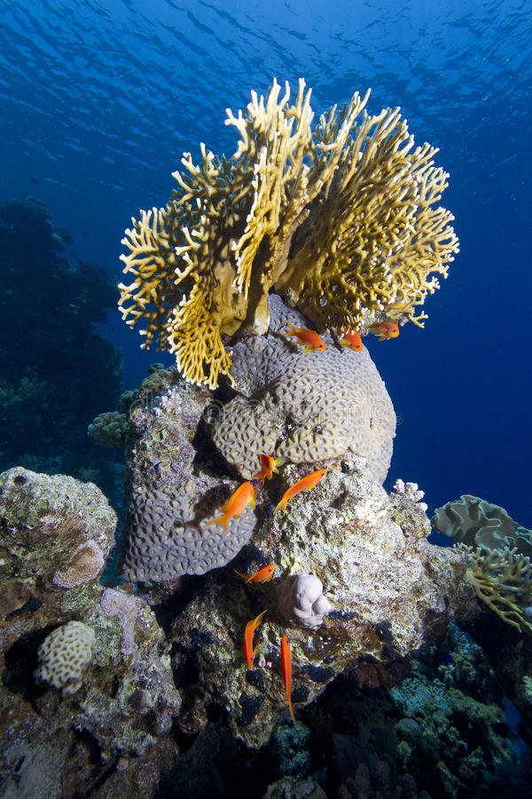 Free Tropical Sea Corals Royalty Free Stock Photography - 34214217
