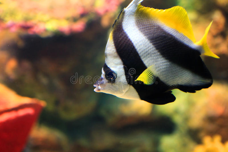 Tropical sea fish royalty free stock photography