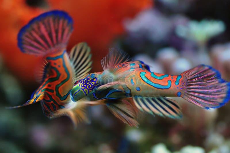 Tropical Sea Mandarin Fishes Mating royalty free stock photos