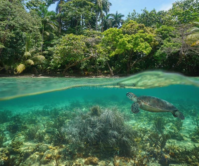Tropical shore over under sea turtle Caribbean sea. Wild tropical shore over and under water surface with a green sea turtle and soft coral underwater, Caribbean stock image