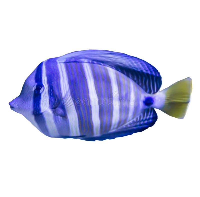 Tropical striped sea fish in an aquarium. stock photos