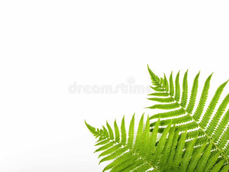 Tropical summer background. Fern branches isolated on white background. Flat lay. Minimal concept. stock photos