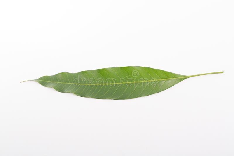 Tropical Thai Mango leaf. Fruit with white background stock image