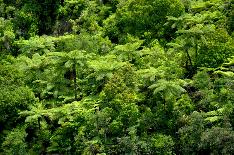 Tropical Tree Ferns. Hillside of large tree ferns - New Zealand bush stock image