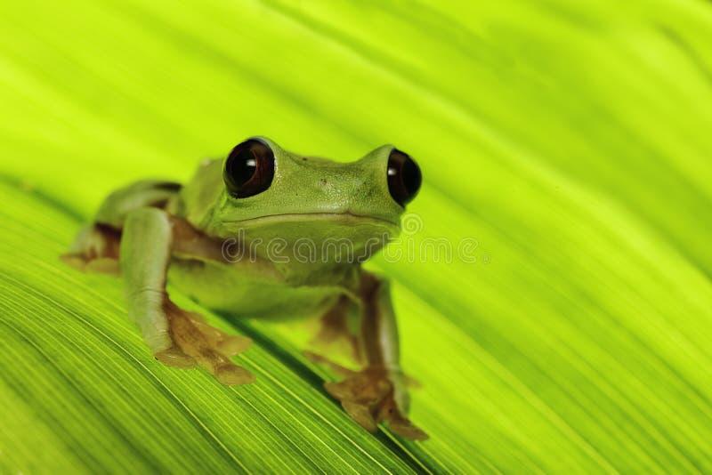 Tropical tree frog stock image