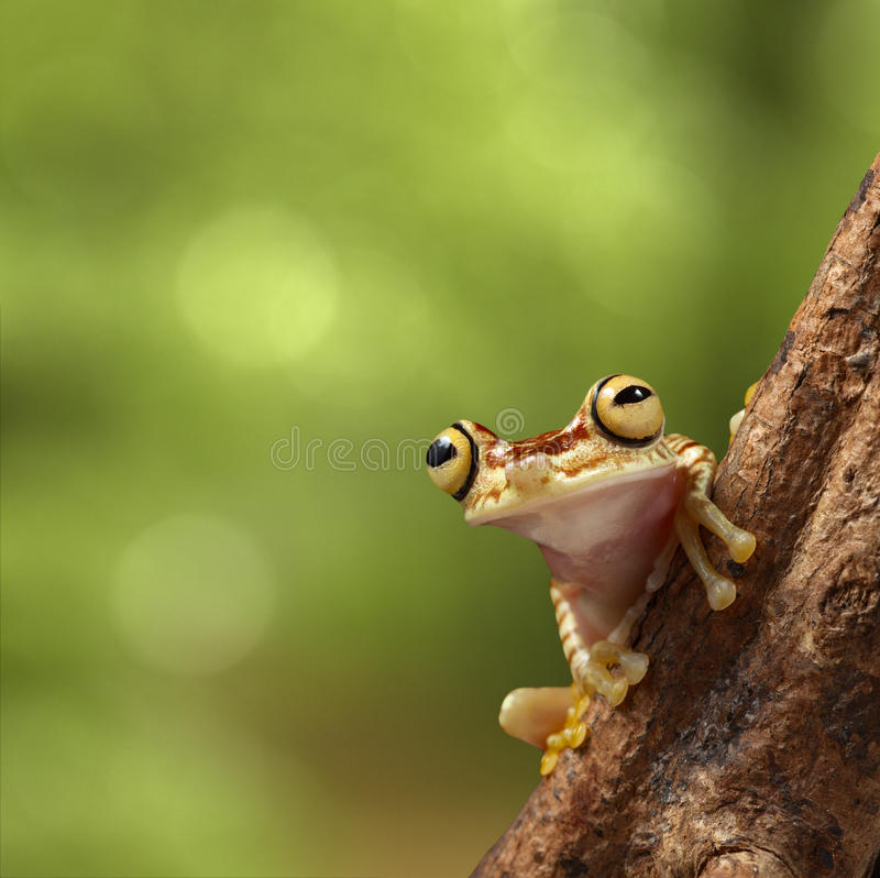 Tropical tree frog Peru Amazon rain forest stock photography
