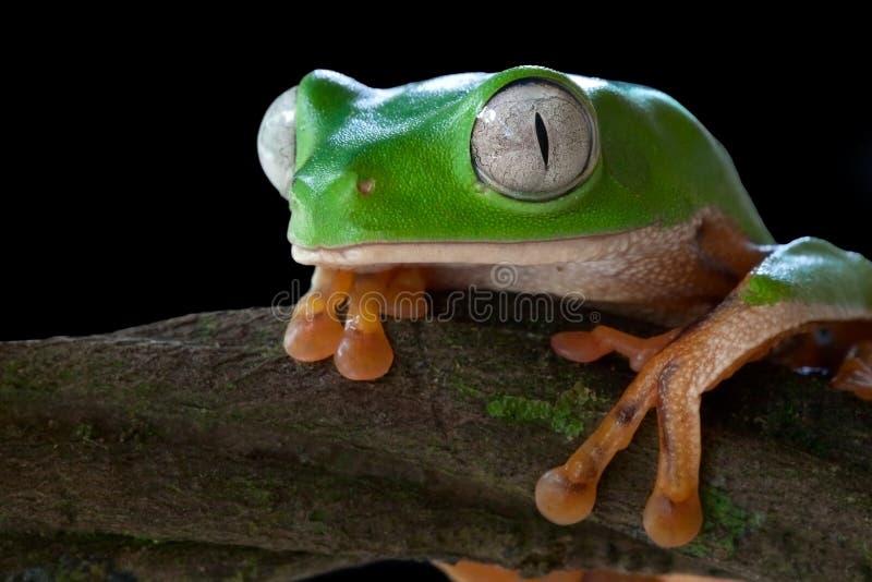 tropical tree frog jungle green amphibian big eyes stock photography