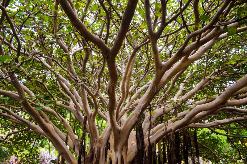 Tropical Tree green limp branch leaf forest canopy. Botanic paradise tropic royalty free stock image