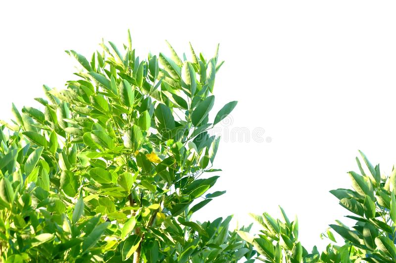 Tropical tree leaves with branches and sunlight on white isolated background for green foliage backdrop. Plant leaves growing garden white isolated background royalty free stock image