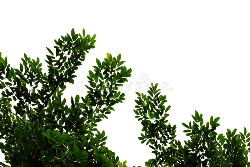 Tropical tree leaves with branches on white isolated background for green foliage backdrop. Leaf, pattern, plant, plantation, top, view, bush, vegetation royalty free stock photos