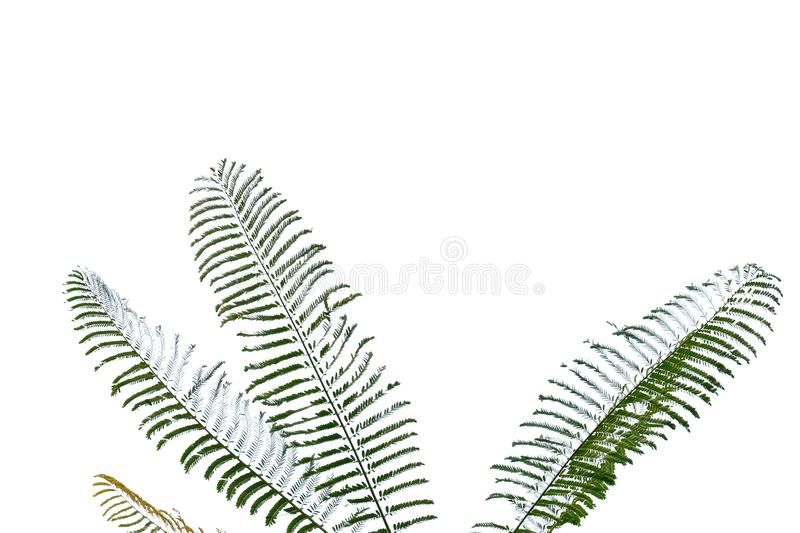 Tropical plant leaves with branches on white isolated background for green foliage backdrop royalty free stock photography
