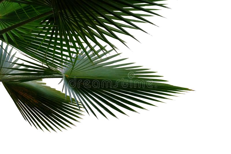 Tropical palm leaves with branches on white isolated background for green foliage backdrop royalty free stock photography