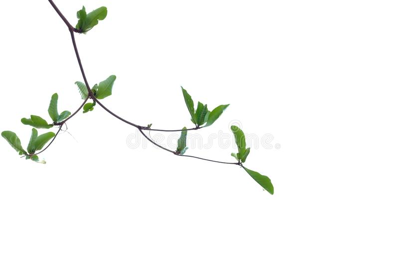 Young Indian almond tree leaves with branches on white isolated background for green foliage backdrop. Tropical tree leaves branches white isolated background royalty free stock photo