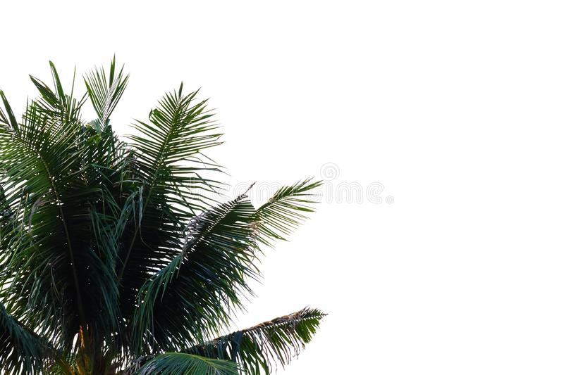 Tropical coconut leaves with branches on white isolated background for green foliage backdrop. Tropical tree leaves branches white isolated background green stock photography