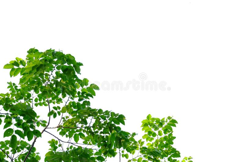 Tropical tree leaves with branches on white isolated background for green foliage backdrop stock image