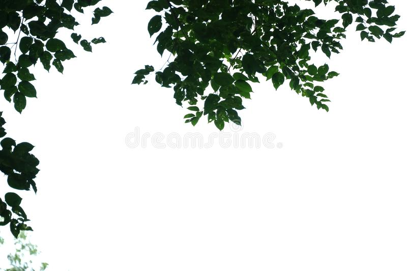 Tropical tree leaves with branches on white isolated background for green foliage backdrop. Agriculture, border, beautiful, bright, fresh, botany, botanical royalty free stock photo