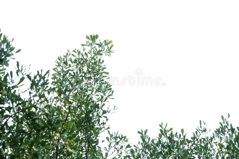 Tropical tree leaves with branches on white isolated background for green foliage backdrop. Agriculture, border, beautiful, bright, fresh, botany, botanical royalty free stock images