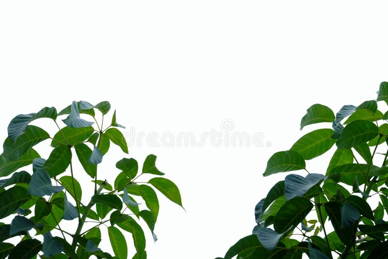 Tropical tree leaves with branches on white isolated background for green foliage backdrop. Agriculture, border, beautiful, bright, fresh, botany, botanical royalty free stock photos