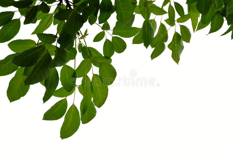 Tropical tree leaves with branches on white isolated background for green foliage backdrop. Tropical tree leaves branches white isolated background green foliage stock photos
