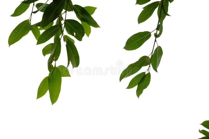 Tropical tree leaves with branches on white isolated background for green foliage backdrop. Tropical tree leaves branches white isolated background green foliage stock photography
