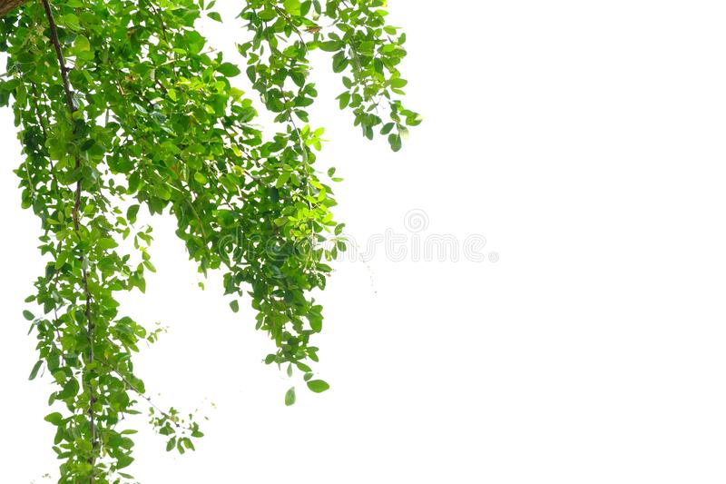 Tropical tree leaves with branches on white isolated background for green foliage backdrop. Tropical tree leaves branches white isolated background green foliage stock images