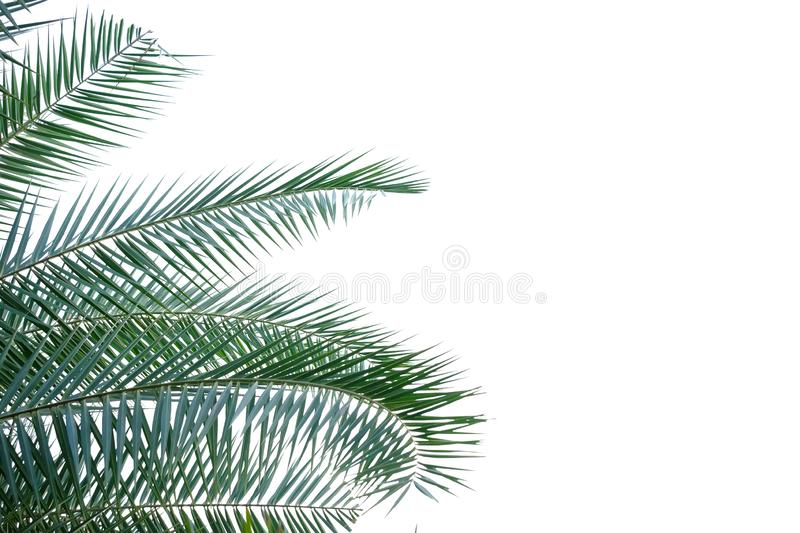 Palm leaves on white isolated background for green foliage backdrop stock images