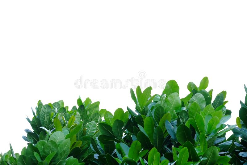 Tropical tree leaves with branches on white isolated background for green foliage backdrop. Tropical tree leaves branches white isolated background green foliage royalty free stock photography