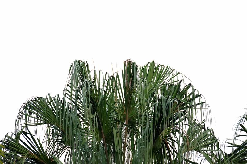 Tropical tree leaves with branches on Palm leaves on white isolated background for green foliage backdrop stock photo
