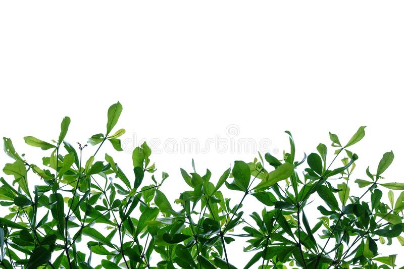 Tropical tree leaves with branches on white isolated background for green foliage backdrop. Tropical tree leaves branches white isolated background green foliage royalty free stock image