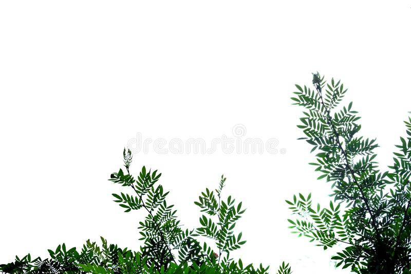 Tropical tree leaves on white isolated background for green foliage backdrop. Tropical tree leaves branches white isolated background green foliage backdrop royalty free stock images