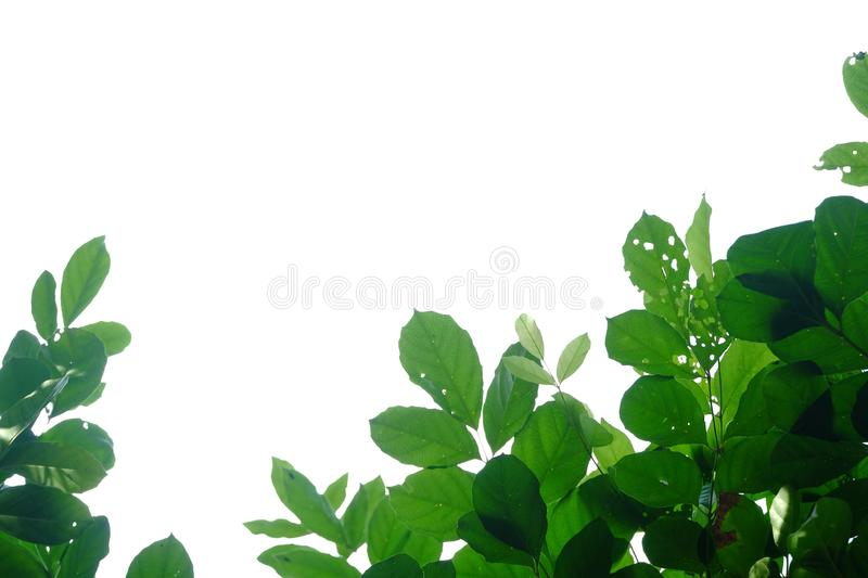 Tropical tree leaves with branches on white isolated background for green foliage backdrop. Bunch, bush, plant, leaf, jungle, rainforest, agriculture, botany stock images