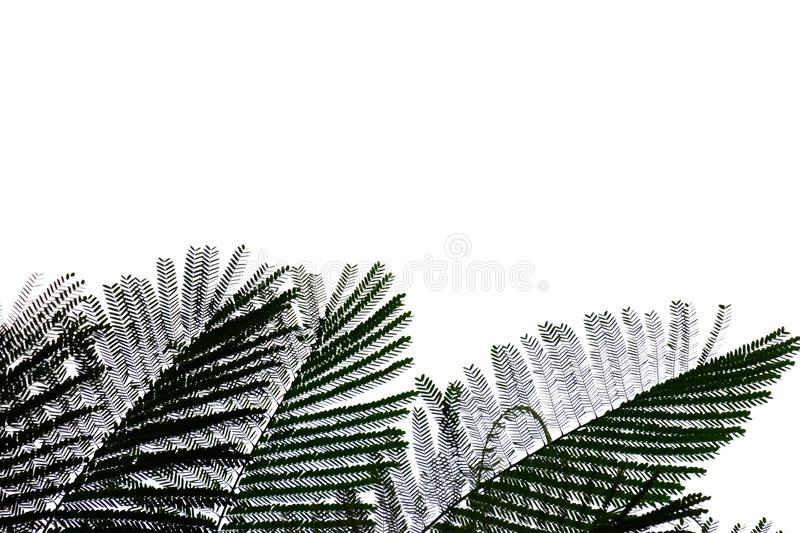 Tropical tree leaves with branches on white isolated background for green foliage backdrop. Leaf, pattern, plant, plantation, top, view, bush, vegetation royalty free stock photography