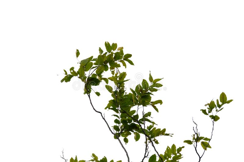 Tropical tree leaves with branches on white isolated background for green foliage backdrop. Leaf, rainforest, jungle, bush, bunch, twig, nature, copy, space stock photo