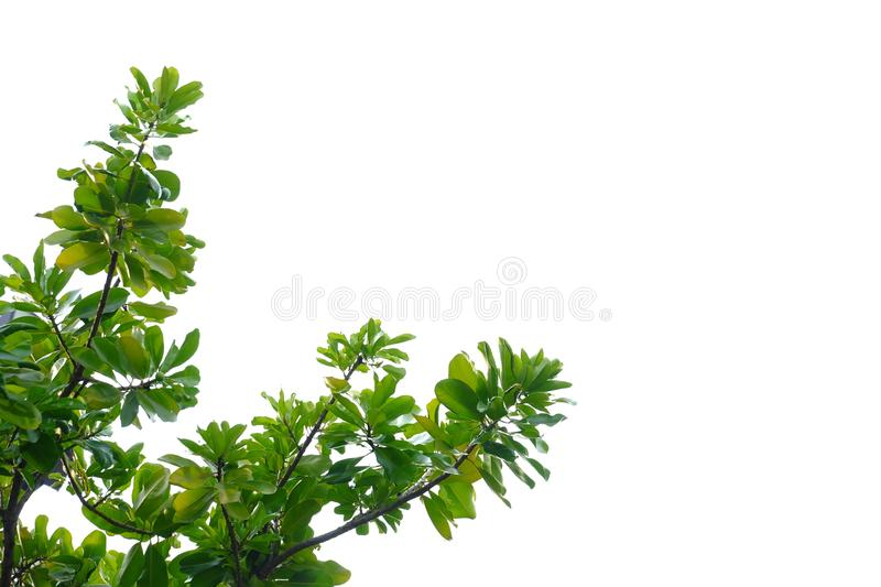 Tropical tree leaves with branches on white isolated background for green foliage backdrop. Leaf, rainforest, jungle, bush, bunch, twig, nature, copy, space royalty free stock photography