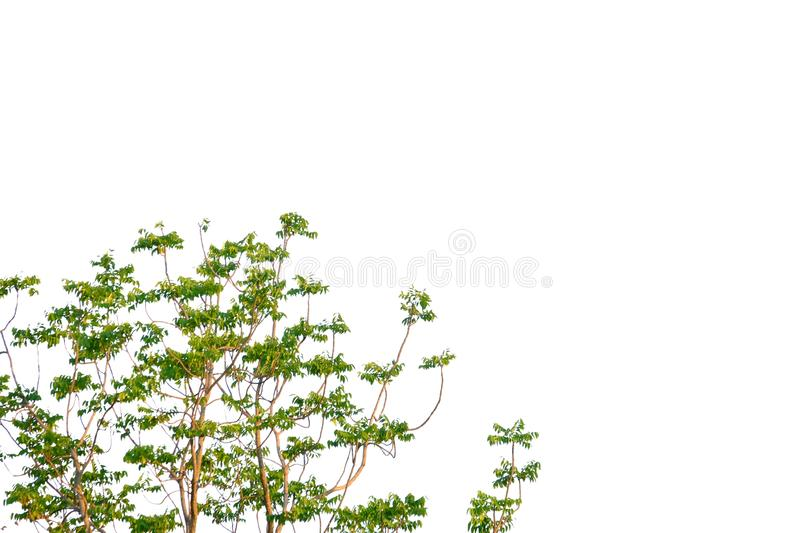 Tropical tree leaves with branches on white isolated background for green foliage backdrop. Leaf tropical tree leaves branches white isolated background green royalty free stock photos