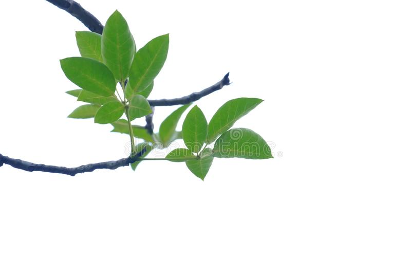 Tropical tree leaves with branches on white isolated background for green foliage backdrop. Outdoor tropical tree leaves branches white isolated background green royalty free stock photos