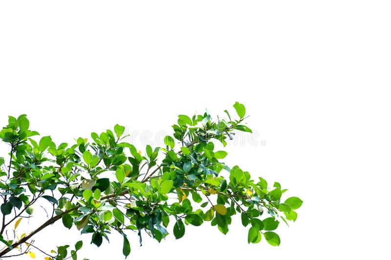 Tropical tree leaves with branches on white isolated background for green foliage backdrop. Tropical tree leaves branches sunlight white isolated background royalty free stock photos